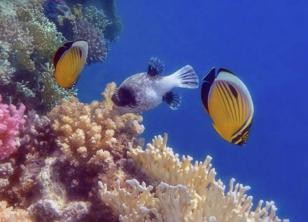 Photograph - Butterflyfish And Pufferfish Soft Underwater Photography by Johanna Hurmerinta