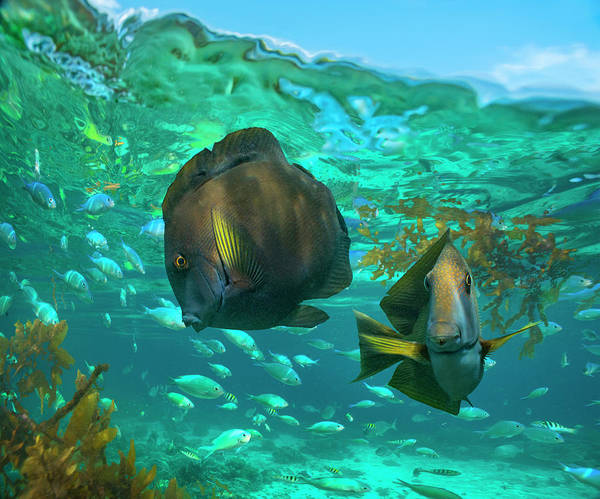Wall Art - Photograph - Butterflyfish Pair And Blue Chromis by Tim Fitzharris