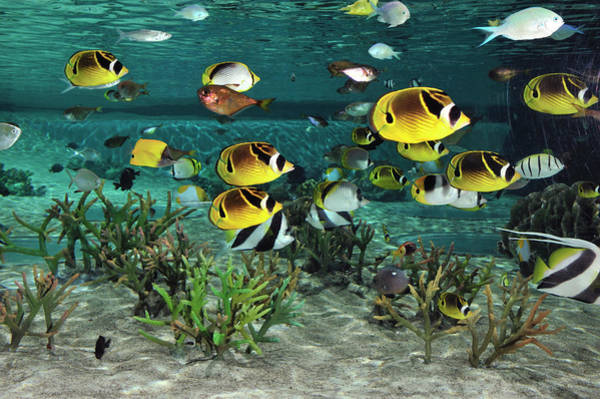 Fish Tank Photograph - Butterflyfishes Swimming Above The Coral by T. Nakamura Volvox Inc.