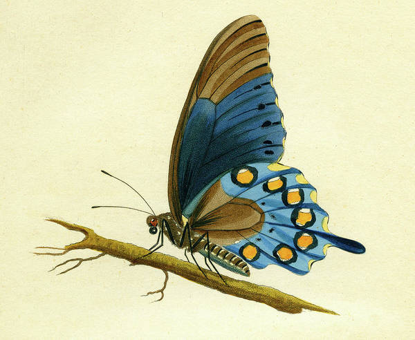 Mixed Media - butterfy detail - Papilio Philenor by Unknown