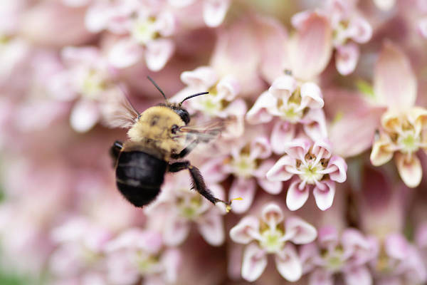 Photograph - Buzzing For Milkweed by Todd Henson