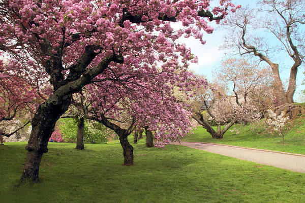 Wall Art - Photograph - The Cherry Tree Path by Jessica Jenney