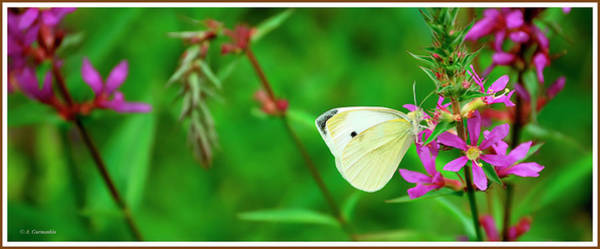 Photograph - Cabbage Butterfly On Purple Loosestrife Wildflowers by A Gurmankin