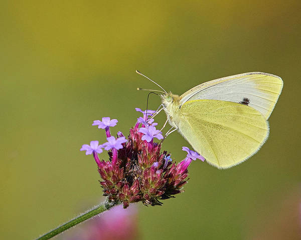 Photograph - Cabbage White Butterfly by Steve Kaye