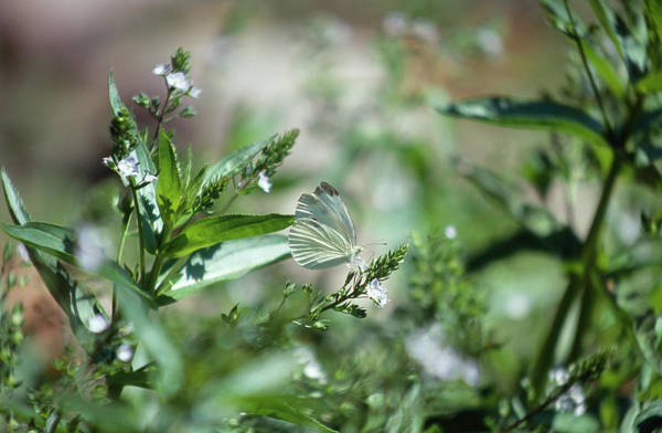 Wall Art - Photograph - Cabbage White by Soli Deo Gloria Wilderness And Wildlife Photography