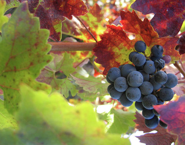 Sonoma County Photograph - Cabernet by Dharmeson
