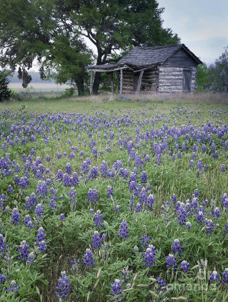 Photograph - Cabin And Bluebonnets by Patti Schulze