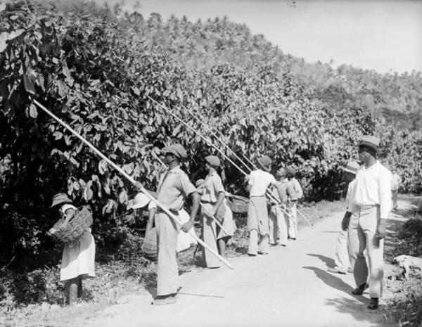 Farm Photograph - Cacao Pickers by Fox Photos