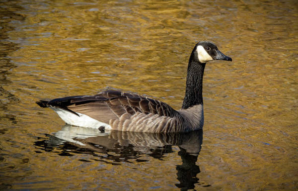 Wall Art - Photograph - Cackling Goose  by Jean Noren