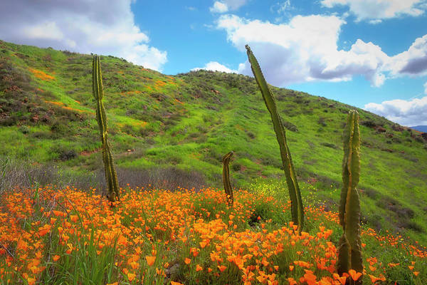Photograph - Cacti And Poppies by Alison Frank