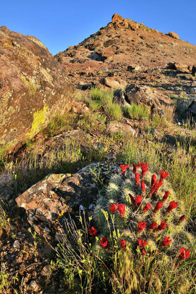Photograph - Cacti Bloom In Grand Junction Colorado by Ray Mathis