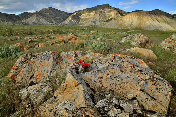 Photograph - Cacti Bloom Nestled In Book Cliffs Boulder by Ray Mathis
