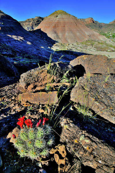 Photograph - Cacti Bloom On Backside Of Ruby Mountain by Ray Mathis
