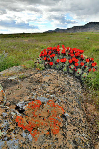 Photograph - Cacti Blooming At Book Cliffs by Ray Mathis