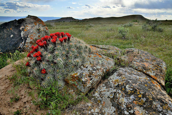 Photograph - Cacti Blooming In Book Cliffs Desert by Ray Mathis