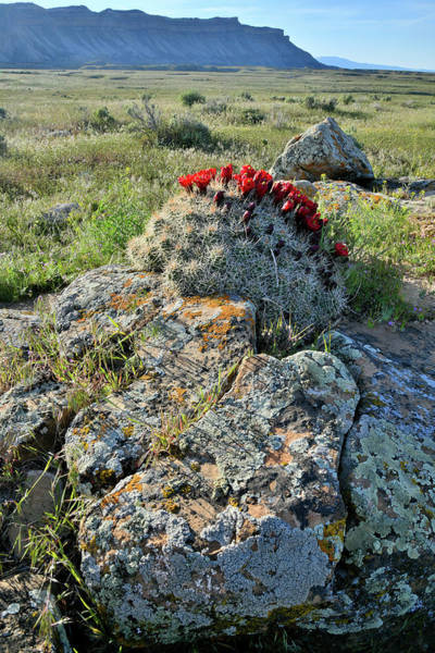 Photograph - Cacti Blooms Atop Book Cliff Boulder by Ray Mathis