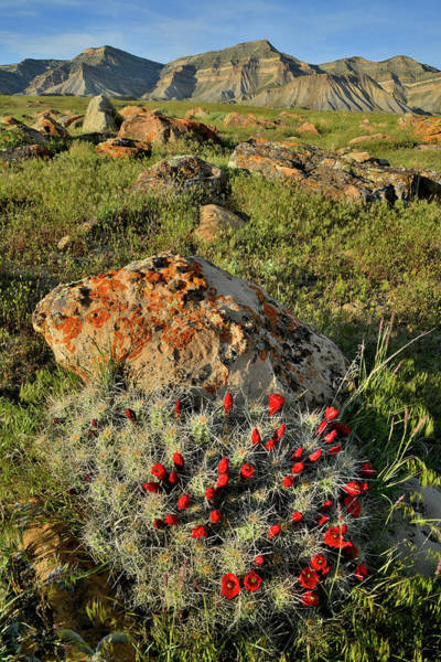 Photograph - Cacti Blooms In Book Cliff Desert by Ray Mathis