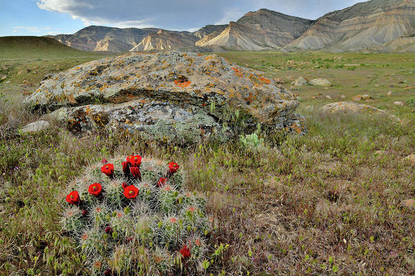 Photograph - Cacti Blooms In Book Cliffs Desert by Ray Mathis