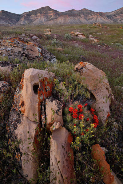 Photograph - Cacti Blooms On Boulder In Book Cliffs by Ray Mathis