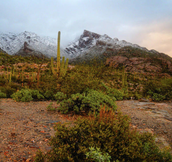 Photograph - Cactus And Snowy Catalinias by Chance Kafka