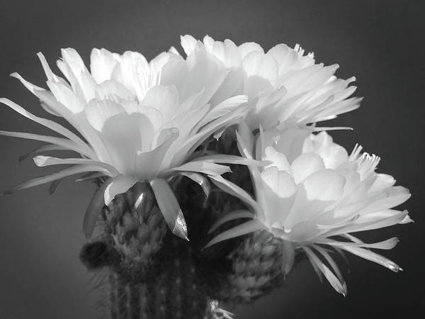 Photograph - Cactus Blooms Bnw I by Veronika Countryman