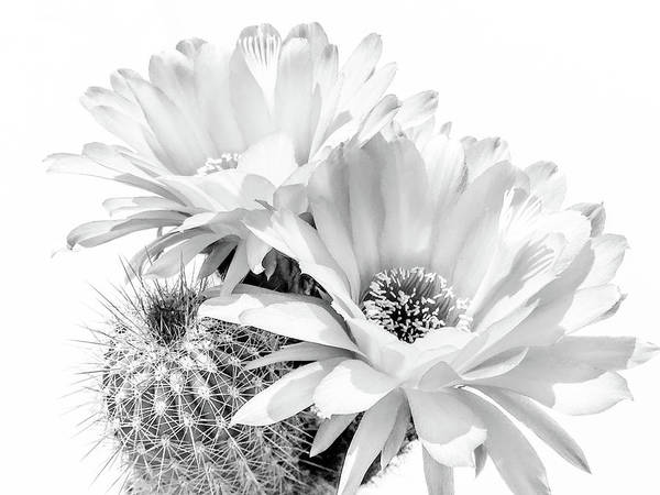 Photograph - Cactus Blooms Bnw II by Veronika Countryman