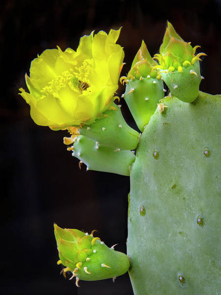 Photograph - Cactus Blooms With Bee II by Harriet Feagin