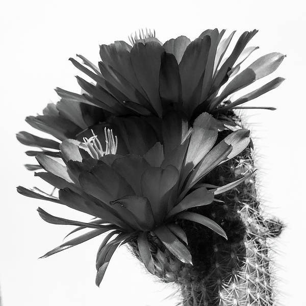 Photograph - Cactus Blossom Bnw 3 by Veronika Countryman