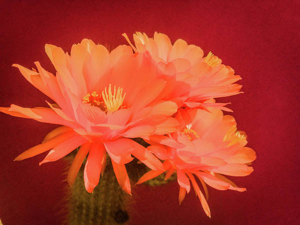 Photograph - Cactus Blossoms I by Veronika Countryman