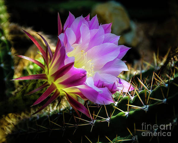 Photograph - Cactus Flower by Jon Burch Photography