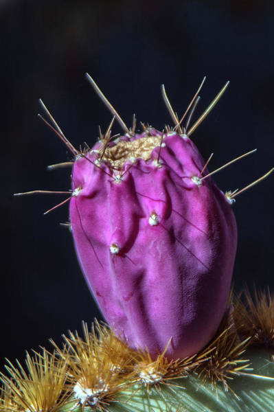 Photograph - Cactus Fruit 3657-100918 by Tam Ryan