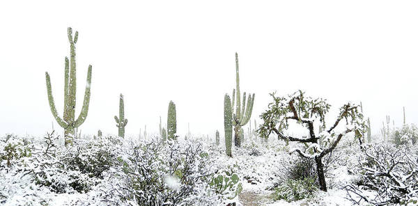 Photograph - Cactus In The Snow by Jean Clark