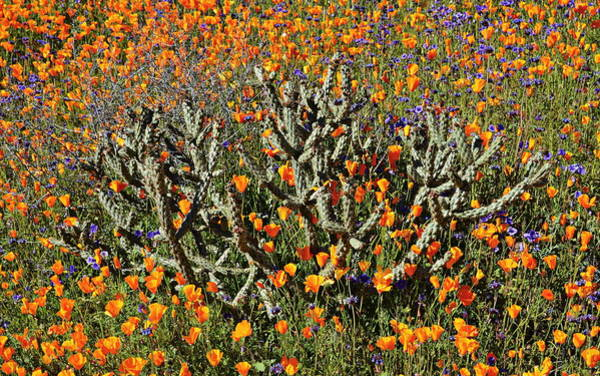 Wall Art - Photograph - Cactus Poppies And Bluebells by Glenn McCarthy Art and Photography