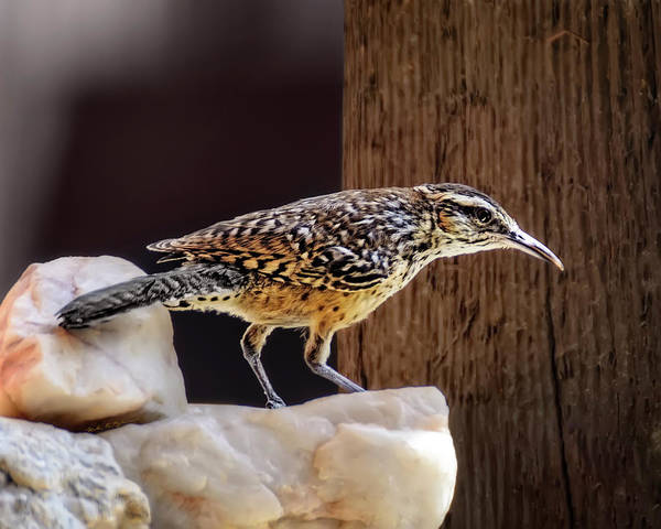 Photograph - Cactus Wren H1905 by Mark Myhaver
