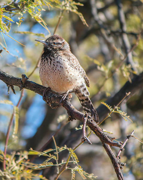 Photograph - Cactus Wren In A Mesquite Tree by Teresa Wilson