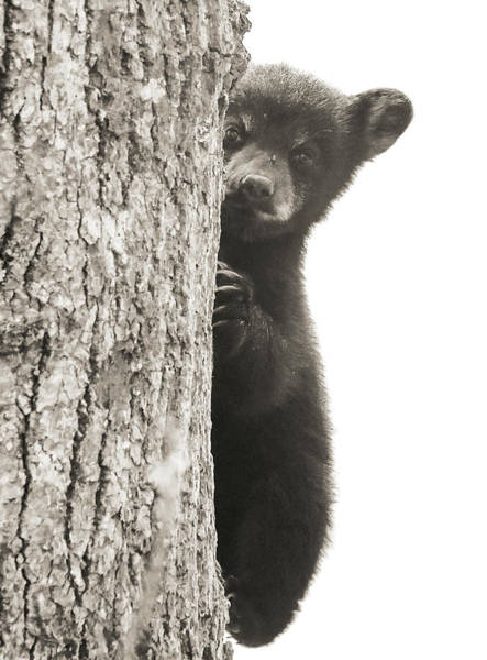 Photograph - Cades Cove Bear Cub by Dan Sproul