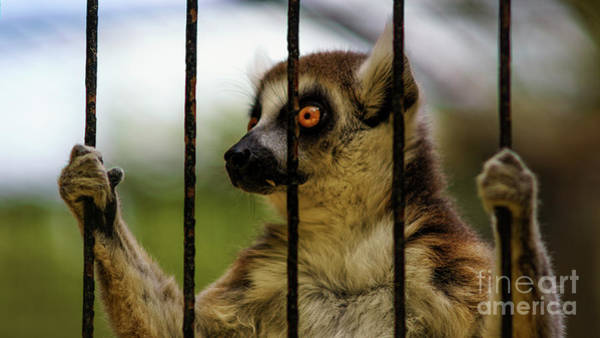 Photograph - Caged Lemur At Zoo by Pablo Avanzini