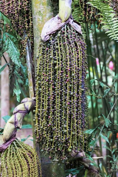 Cahuita Photograph - Cahuita Foxtail Palm Pod by Norma Brandsberg