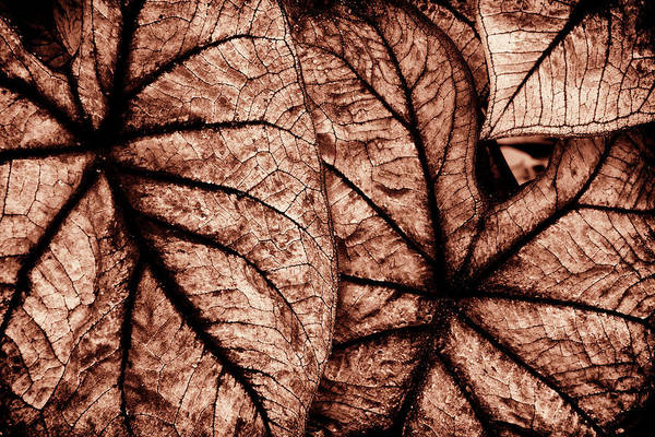 Wall Art - Photograph - Caladium Leaves Curves And Lines by Paul W Faust - Impressions of Light