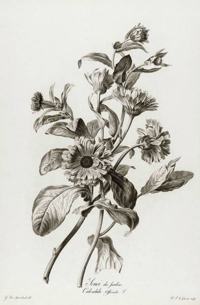 Wall Art - Painting - Calendula Officinalis, 1801 by Pierre Francois Legrand