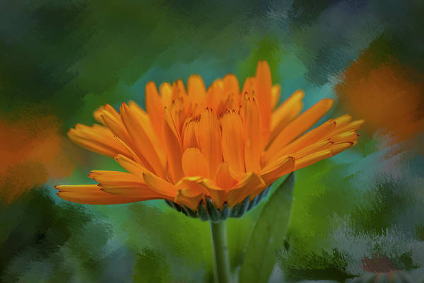 Wall Art - Mixed Media - Calendula Officinalis #i9 by Leif Sohlman