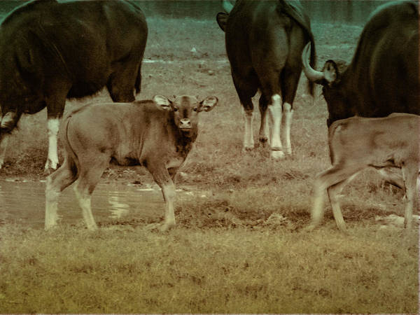 Photograph - Calf Posing by AE collections