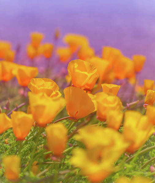 Photograph - California Golden Poppies At Sunset by Debbie Lund
