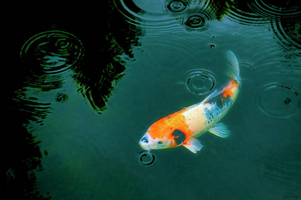 Photograph - Calico Colored Koi  by Dee Browning