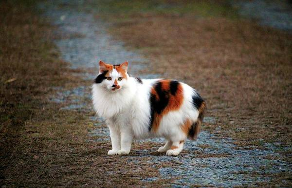 Photograph - Calico On The Prowl by Cynthia Guinn