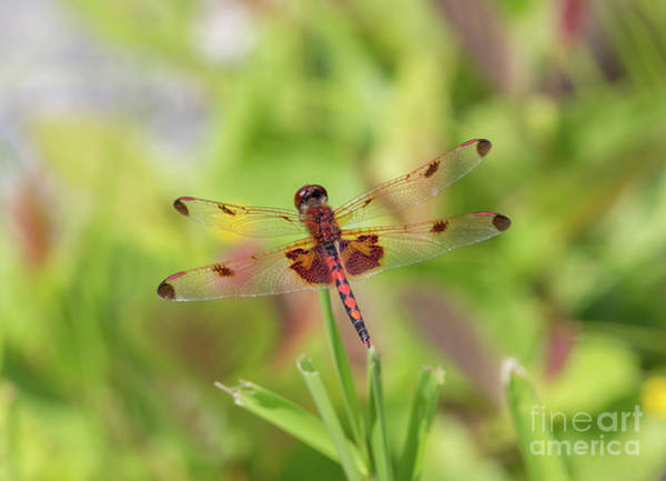 Photograph - Calico Pennant Dragonfly by Kevin McCarthy