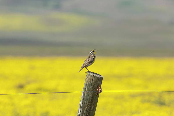 Wall Art - Photograph - California A Western Meadowlark by Brenda Tharp