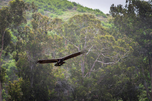 Photograph - California Condor In Flight II Color by David Gordon