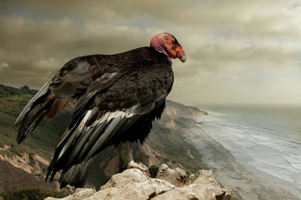 California Condor On Cliff Overlooking Art Print