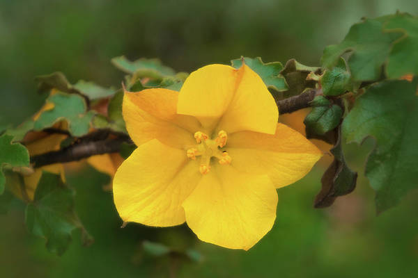 Photograph - California Flannelbush by Carolyn Derstine